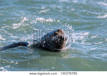 Male Sea Lion Attacking You