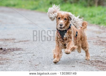 Happy Puppy Dog Running To You