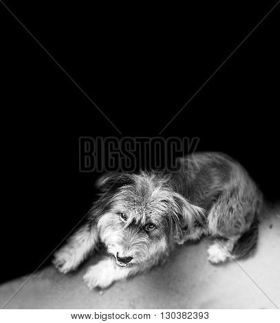 Tibetan Terrier looking up to see camera and little smile too cute he sit on the footpath and focus select his face but body and ground is blur