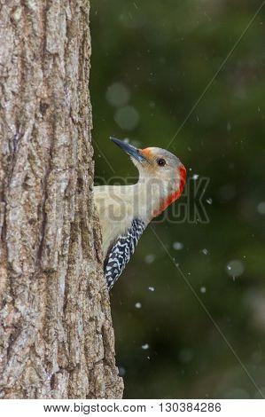 This is a Red-bellied Woodpecker. Taken in Kentucky.