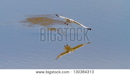 A Ring-billed Gull and its reflection. Taken in Kentucky.
