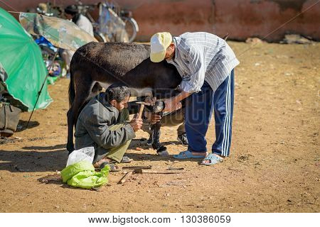 GUELMIM MOROCCO - OCTOBER 31 2015: Men trying to nail rummer shoe on a donkey for at the weekly market in the south Moroccan town of Guelmim.