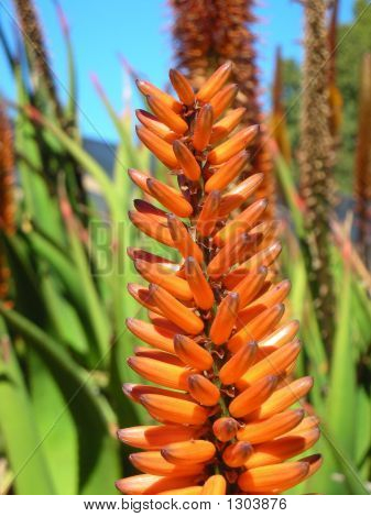 Aloe In Bloom