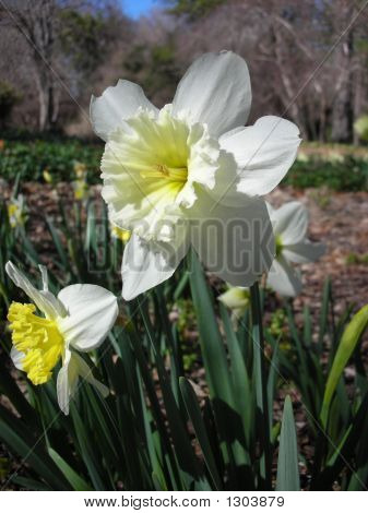 Narcissi Lemon Drop