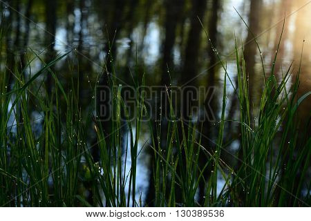 Riverside green grass in drops of morning dew on a background of water