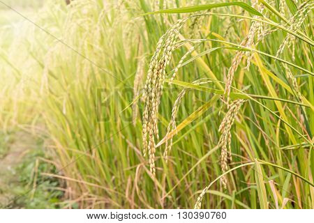Close up of paddy rice seed with sun haze