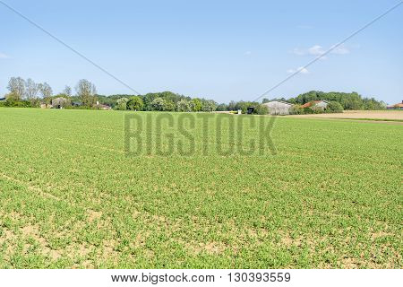 sunny agricultural scenery at a field with rows of small plants in Hohenlohe a district in Southern Germany
