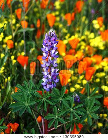 California wildflower lupine, lupine lupines, stands out in a beautiful field of California poppies, escholzia californica, and yellow buttercups.