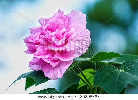 Mutabilis Hibiscus pink flower with petals change color during day: white morning, noon pink, red evening like fate beautiful woman ephemeral. It also used as flowers human medicines
