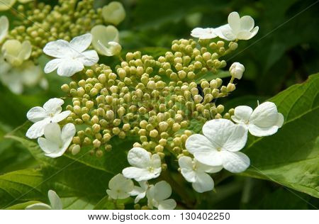 A white blossoming guelder-rose in the garden