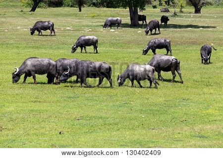 Buffalo Grazing Next To The River Strymon Spring In Northern Greece.