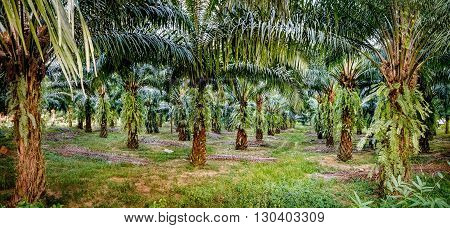 Views of palm oil plantations Khao Sok National Park Surat Thani Province Thailand.