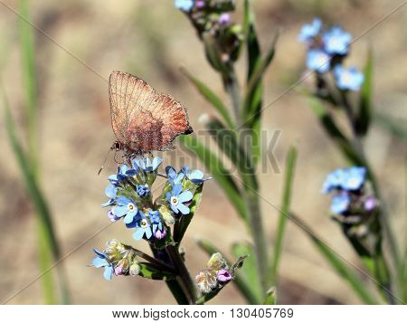 A Brown Elfin Butterfly - Callophrys augustinus
