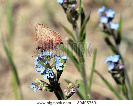 A Brown Elfin Butterfly - Callophrys augustinus