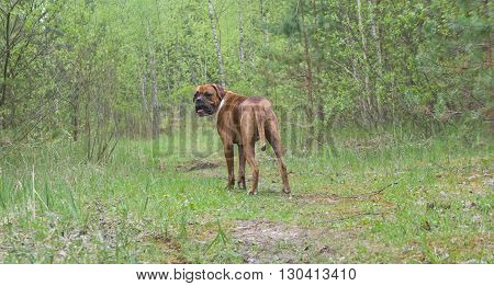 Dog, Several dogs, Breed of a dog boxer,flowers, green,green leaves over green background,Forest, Large ears of dogs,