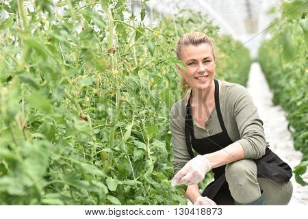 Farmer in greenhouse cultivating tomatoes
