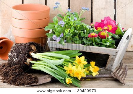 Potting daffodils forget-me-not or primroses in springtime