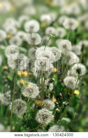 Selective focus on dandelion seeds in meadow in springtime