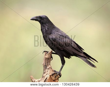 Common raven (Corvus corax) resting on a branch with blurred vegetation in the background