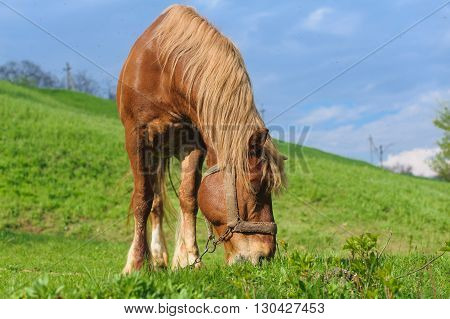 Red Horse on hillside. Grazing horse on the green sward of hillside. Green grass blue sky with clouds in the background. A lot of flies flying over the horse's head. Horse with bridle.