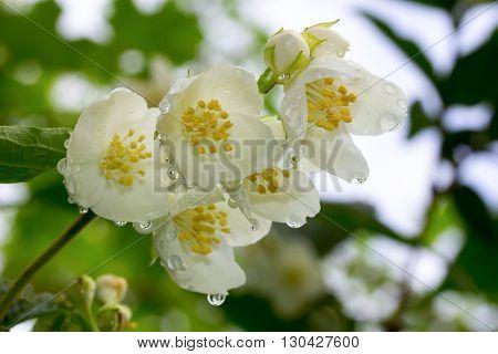 branch of white jasmine flowers in raindrops closeup