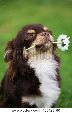 funny chihuahua dog holding a flower outdoors