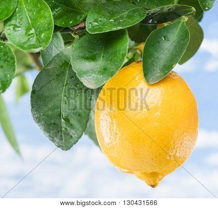 Ripe lemon fruit on the tree. Blue sky background.