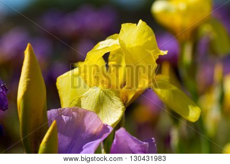 yellow-purple flowers in the garden at springtime