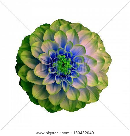 Dahlia flower isolated on white background. It can be used in website design and printing. Suitable for designers. Closeup. Green blue.