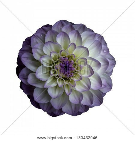 Dahlia flower isolated on white background. It can be used in website design and printing. Suitable for designers. Closeup. Lilac white.
