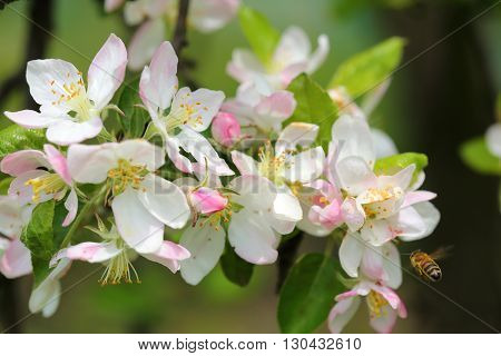 White and pink blossoms on apple tree branches.