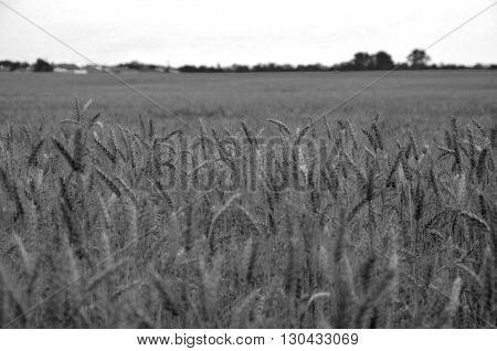 field of ripe wheat during clear day (monochromatic)