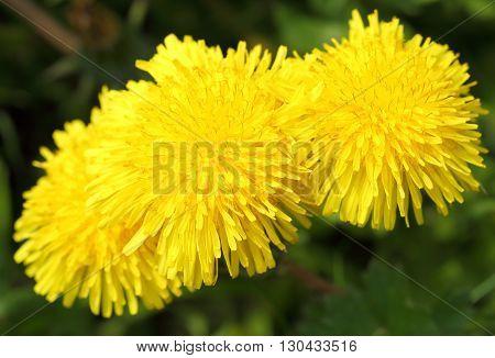 Taraxacum officinale. Yellow dandelions on the green field closeup in summer.