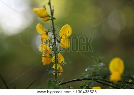 Flowers of a German Greenweed bush Genista germanica