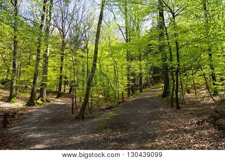 Beautiful Spring Forest In Denmark