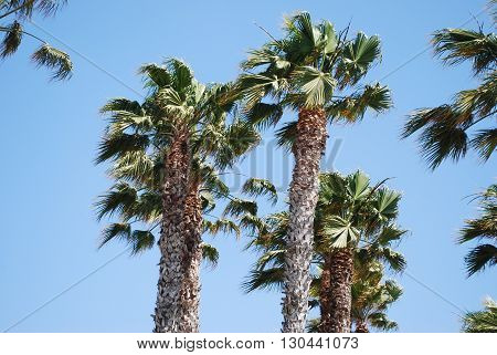 A group of palm trees with a blue sky backdrop.