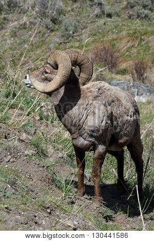 a big horn sheep looks to the right displaying his rack of horns