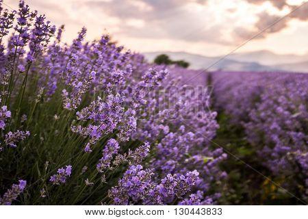 Fresh spring lavender flowers in the farmland