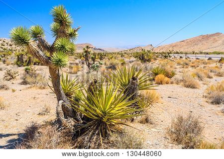 Joshua Tree, Red Rock Canyon, Nevada, Usa