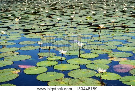 Water Lilly Background