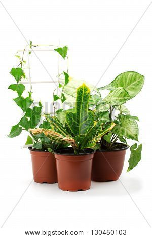 Syngonium croton and other potted plants isolated on a white background.