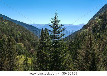 Pine spruce in an alpine meadow against mountain peaks.