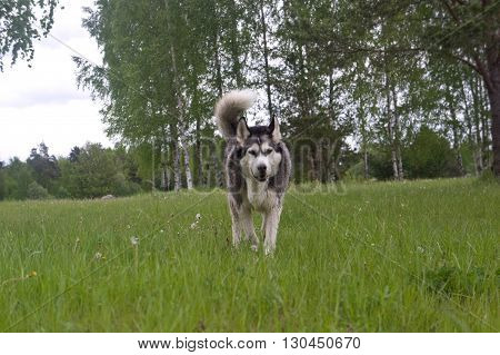 dog of breed a malamute, color gray with white, large ears, fluffy wool, on a background trees, a grass