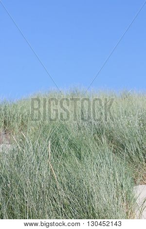 A dune covered with green beach grass