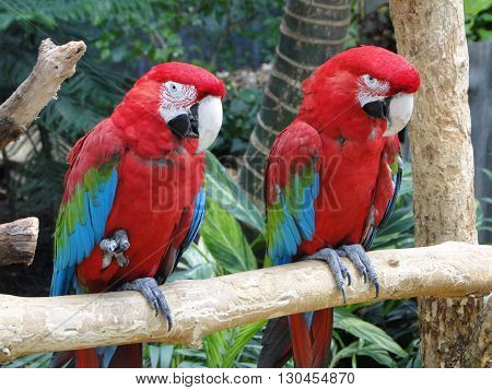 Two scarlet macaws sitting together on a branch. Shot at Brookfield Zoo, IL