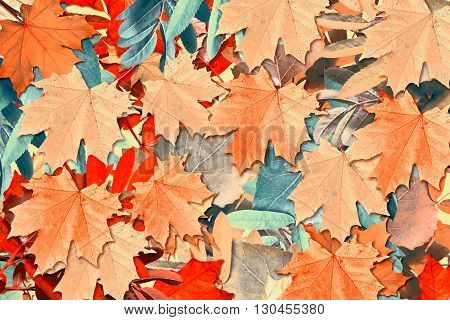 abstract background of autumn leaves. red foliage
