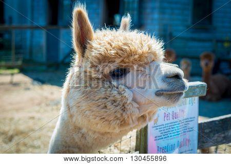 Alpaca in the field of Martha's Vineyard