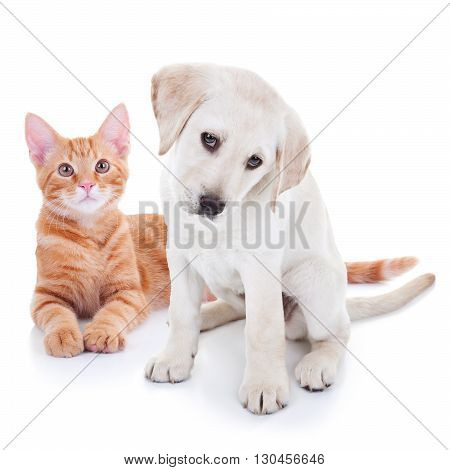 Pet puppy dog and kitten cat together isolated on white