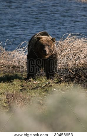 a grizzly bear stares through the sage brush