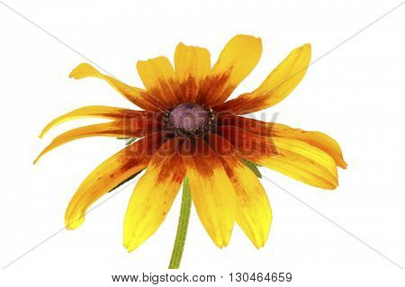 single flower of rudbeckia isolated on white background